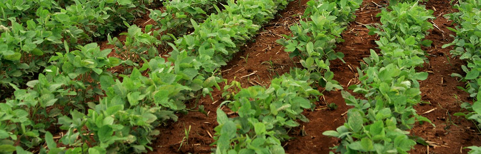 Imagem de uma plantação de soja.