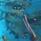 Estudo analisa dispersão de sementes por peixes carnívoros